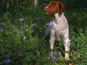 Brittany Spaniel, Domestic Gundog, USA by Lynn M. Stone