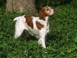 Brittany Spaniel, Domestic Gundog, USA by Lynn M^ Stone