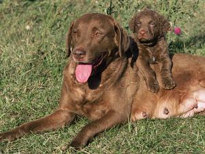 Chesapeake Bay Retriever Dog, Lactating Female and Puppy, USA by Lynn M. Stone