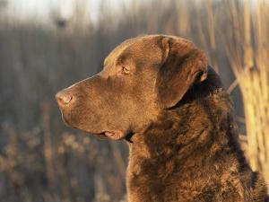 Chesapeake Bay Retriever Dog, USA by Lynn M. Stone