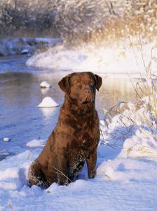 Chesapeake Bay Retriever Sitting in Snow by River, Illinois, USA by Lynn M. Stone