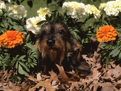 Dachshund Dog Amongst Flowers, USA by Lynn M^ Stone
