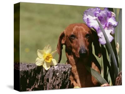 Dachshund Dog Amongst Flowers, USA