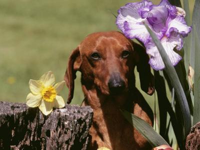 Dachshund Dog Amongst Flowers, USA by Lynn M. Stone