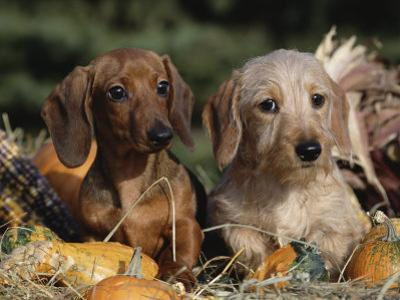 Dachshund Dog Puppies, Smooth Haired and Wire Haired by Lynn M^ Stone