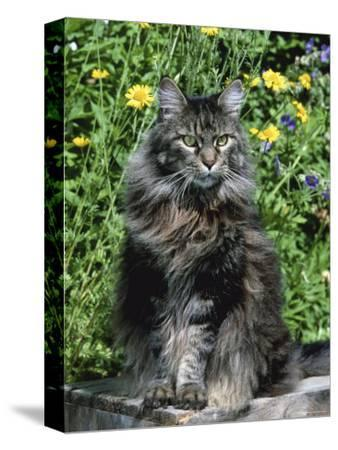 Domestic Cat, Maine Coon Breed, Maine, USA