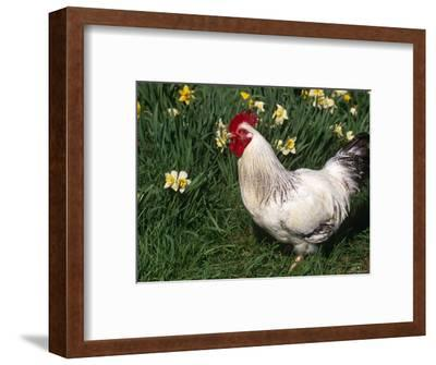 Domestic Chicken, Rooster Amongst Daffodils, USA