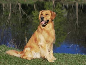 Domestic Dog Sitting Portrait, Golden Retriever, (Canis Familiaris) Illinois, USA by Lynn M. Stone