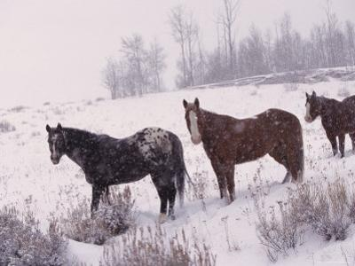 Domestic Horses, in Snow, Colorado, USA by Lynn M. Stone