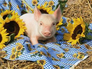 Domestic Piglet and Sunflowers, USA by Lynn M. Stone