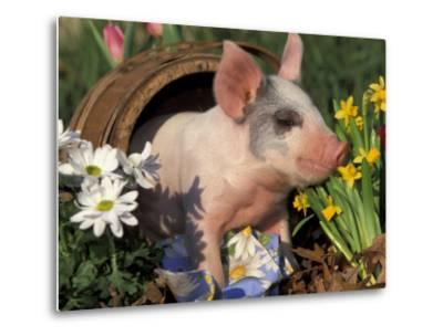 Domestic Piglet in Barrel, Mixed-Breed