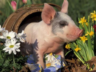 Domestic Piglet in Barrel, Mixed-Breed by Lynn M. Stone