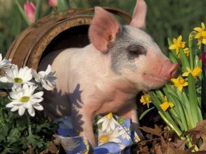 Domestic Piglet in Barrel, Mixed-Breed by Lynn M. Stone