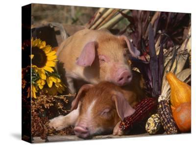 Domestic Piglets, Resting Amongst Vegetables, USA