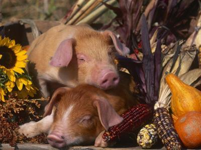Domestic Piglets, Resting Amongst Vegetables, USA by Lynn M. Stone