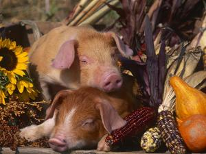 Domestic Piglets, Resting Amongst Vegetables, USA by Lynn M. Stone