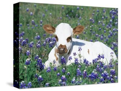 Domestic Texas Longhorn Calf, in Lupin Meadow, Texas, USA