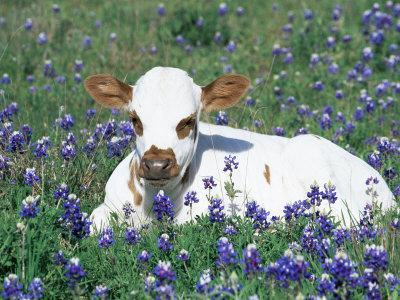 Domestic Texas Longhorn Calf, in Lupin Meadow, Texas, USA