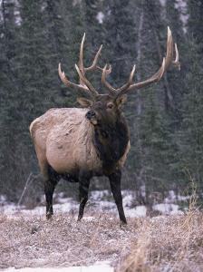 Elk Deer Stag in Snow, Jasper National Park, Canada by Lynn M. Stone