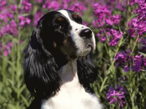 English Springer Spaniel Dog, USA by Lynn M^ Stone