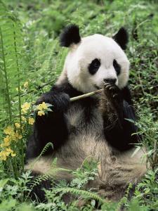 Giant Panda, Wolong Nr, Qionglai Mts, Sichuan, China by Lynn M. Stone