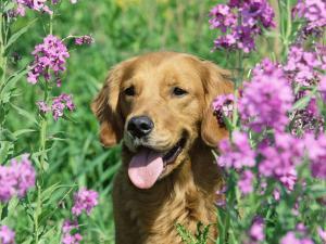 Golden Retriever Amongst Meadow Flowers, USA by Lynn M. Stone