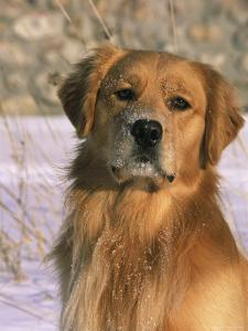 Golden Retriever in Snow (Canis Familiaris) Illinois, USA by Lynn M. Stone