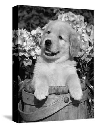 Golden Retriever Puppy in Bucket (Canis Familiaris) Illinois, USA