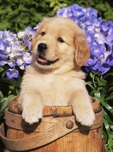 Golden Retriever Puppy in Bucket (Canis Familiaris) Illinois, USA by Lynn M^ Stone