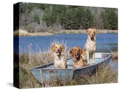 Golden Retrievers in Boat, USA
