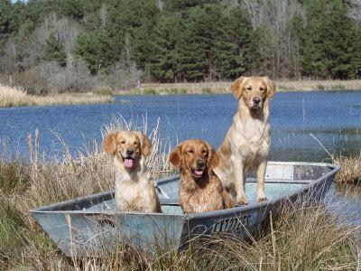 Golden Retrievers in Boat, USA
