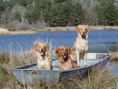 Golden Retrievers in Boat, USA by Lynn M^ Stone