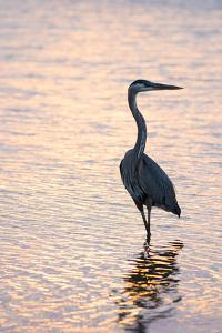 Great Blue Heron by Lynn M. Stone