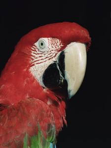 Green Winged Macaw by Lynn M. Stone