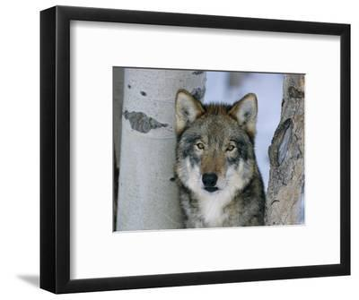 Grey Wolf Head Portrait, Us