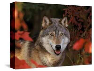 Grey Wolf Portrait, Minnesota, USA