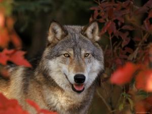 Grey Wolf Portrait, Minnesota, USA by Lynn M. Stone