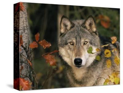 Grey Wolf Portrait, USA