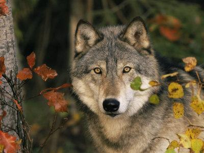 Grey Wolf Portrait, USA