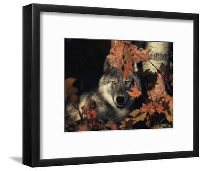 Grey Wolf Portrait with Autumn Leaves, USA