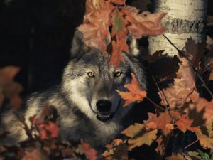 Grey Wolf Portrait with Autumn Leaves, USA by Lynn M. Stone
