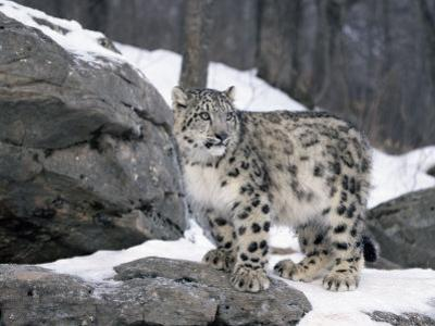 Juvenile Snow Leopard by Lynn M^ Stone
