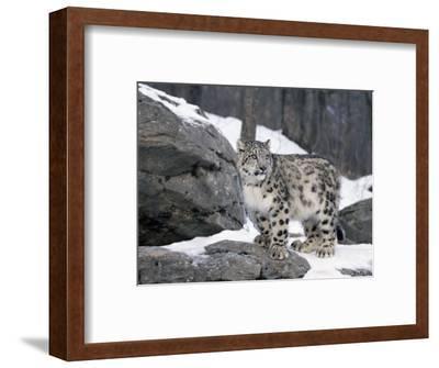 Juvenile Snow Leopard