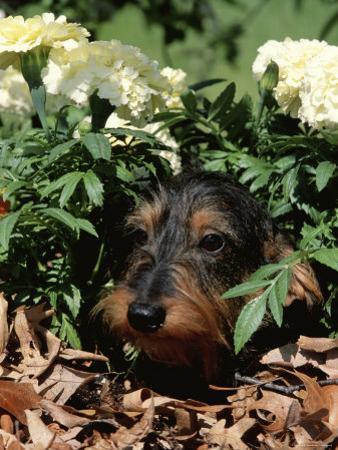Long Haired Dachshund Among Carnations, USA by Lynn M^ Stone