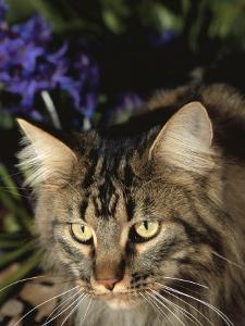 Maine Coon Domestic Cat, USA by Lynn M. Stone