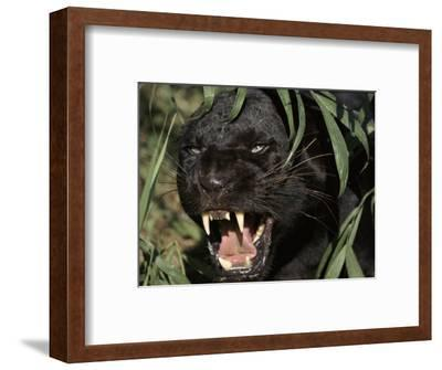 Melanistic (Black Form) Leopard Snarling, Often Called Black Panther