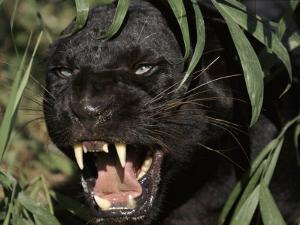 Melanistic (Black Form) Leopard Snarling, Often Called Black Panther by Lynn M. Stone