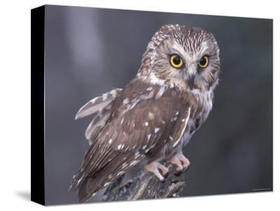 Northern Saw-Whet Owl, Alaska, Us