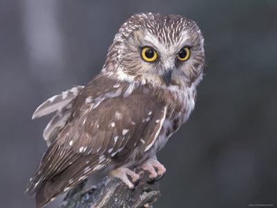 Northern Saw-Whet Owl, Alaska, Us