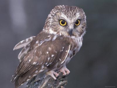 Northern Saw-Whet Owl, Alaska, Us by Lynn M^ Stone